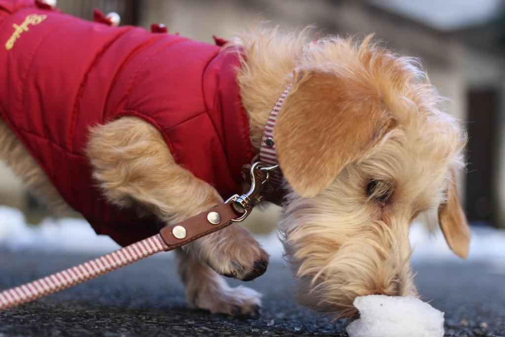 犬の保育園 ばうびー しつけ トレーニング ワイヤーヘアードミニチュアダックスフンド  お散歩 雪道 首輪 リード 洋服