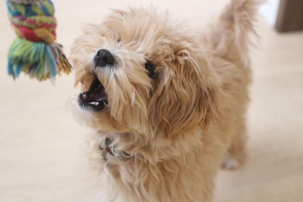 犬の保育園 ばうびー  しつけ トレーニング マルチーズ トイプードル MIX おもちゃ遊び