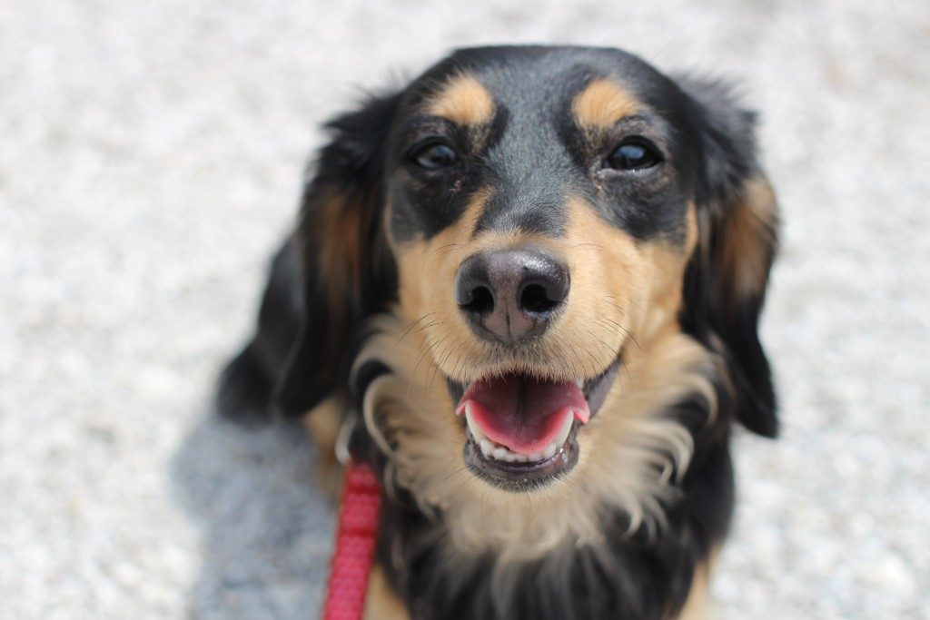 ミニチュアダックスフンド お散歩練習 外 リードの引っ張り 小型犬