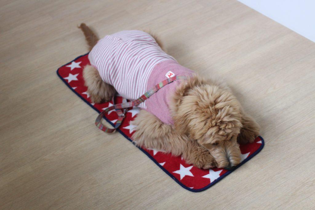 ゴールデンドゥードル マットの上に伏せる 大型犬 可愛い洋服 リード