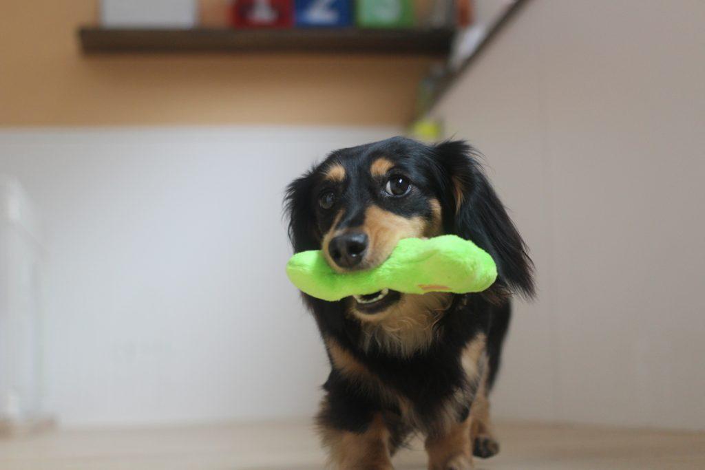 犬の保育園 ダックスフンド おっもちゃを使ったレッスン 犬の幼稚園 中央線