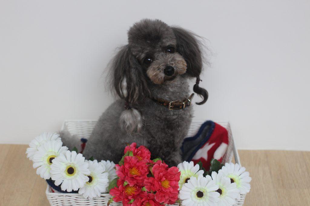 犬の保育園 トイプードル 犬の写真撮影 マテのレッスン 上手にトレーニング 武蔵野市