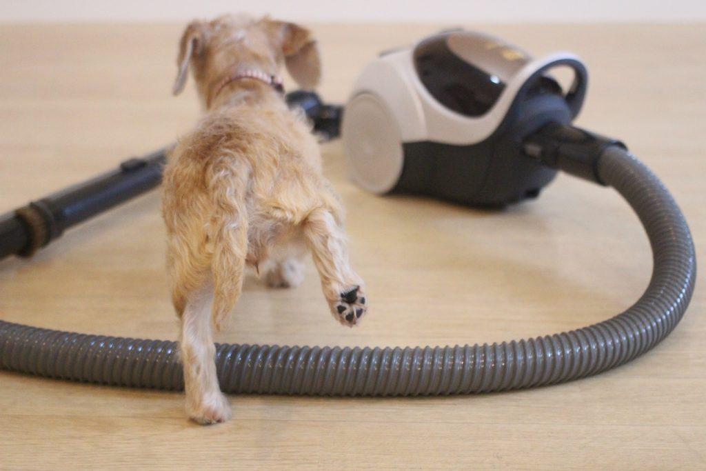 ワイヤーヘアードミニチュアダックスフンド 掃除機をまたぐ 犬の後ろ姿 モノ慣れの方法