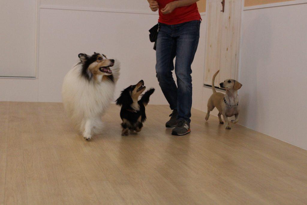 ミニチュアダックスフンド シェルティー 多頭でヒールウォークの練習 楽しそうにみんなで過ごす保育園 他の犬と一緒にいられるメリット