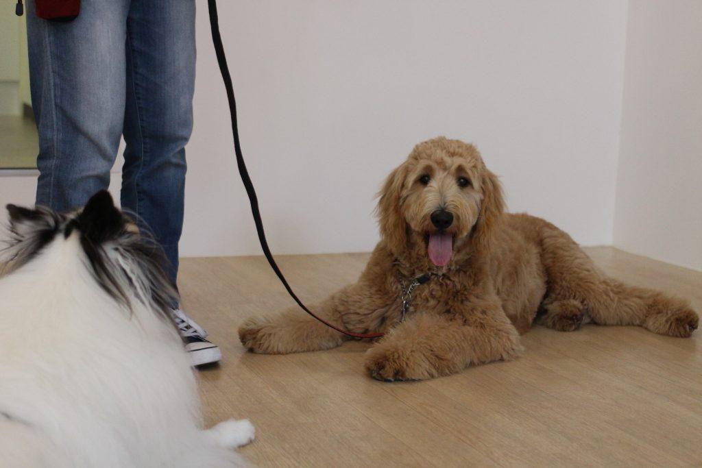 ゴールデンドゥードル シェルティー 伏せの練習 他の犬と過ごす 吠えない 飛びつかない