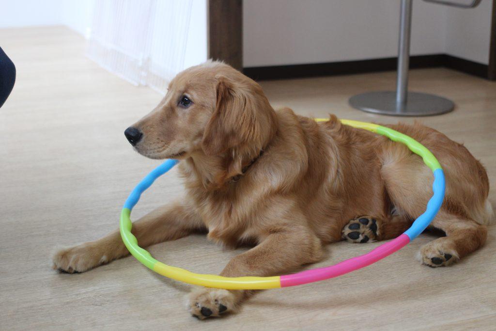 ゴールデンレトリーバー フラフープで物慣れ 好奇心旺盛な犬 伏せの練習 犬の保育園