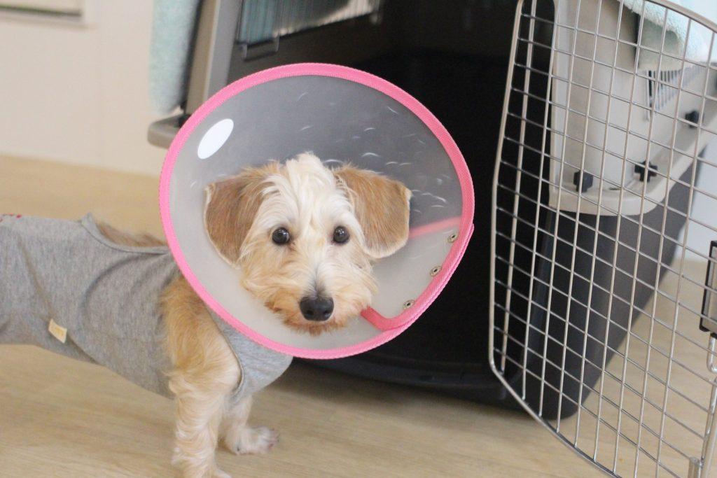 ワイヤーヘアードミニチュアダックスフンド 小型犬 中型犬のクレートに入る ハウス練習 術後服を着ている 犬のトレーニング しつけ方