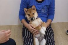柴犬 リラックスポジションの練習