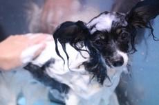 シャンプー 犬の保育園 犬のしつけ 犬のトレーニング 吉祥寺 パピヨン