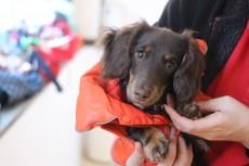 犬の保育園 犬のしつけ 犬のトレーニング 吉祥寺 ミニチュアダックスフンド 犬の着替え
