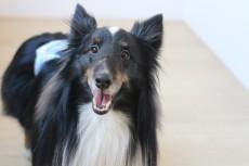 犬の保育園 犬のしつけ 犬のトレーニング 吉祥寺 ばうびー シェルティー シェットランドシープドッグ 笑顔