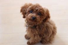 犬の保育園 犬のしつけ 犬のトレーニング 吉祥寺 ばうびー トイプードル 人慣れ