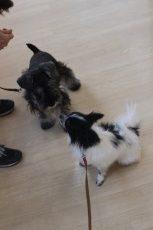 犬の保育園 ばうびー 犬のしつけ 犬のトレーニング 吉祥寺 犬のお友達 犬同士 遊び パピヨン ミニチュアシュナウザー