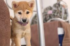 犬の保育園 ばうびー 犬のしつけ 犬のトレーニング 吉祥寺 柴犬 パピー 子犬
