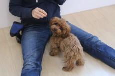 犬の保育園 犬のしつけ 犬のトレーニング 吉祥寺 ばうびー トイプードル パピー 子犬 人慣れ 社会化