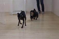 犬の保育園 ばうびー 犬のしつけ 犬のトレーニング 吉祥寺 犬のお友達 犬同士 遊び ミニチュアダックスフンド ミニチュアピンシャー