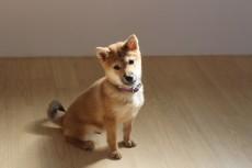 犬の保育園 ばうびー 犬のしつけ 犬のトレーニング 吉祥寺 柴犬 パピー 子犬のしつけ おすわり
