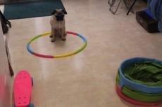 犬の保育園で色々な物に慣れる練習