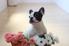 フレンチブルドッグ 犬の保育園 室内レッスン おすわり、まての練習