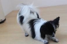 犬の保育園 パピヨン 室内レッスン