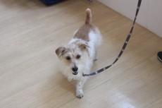 ワイヤーヘアードミニチュアダックスフンドの小梅ちゃん 歩行練習 室内のレッスン 犬の保育園