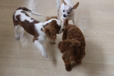 犬の保育園 室内レッスン 犬のお友達と仲良し 犬の社会 室内レッスン