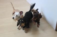 犬の保育園 室内トレーニング お友達とトレーニング