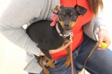 ピンシャー 抱っこ練習 犬の保育園 室内でトレーニング