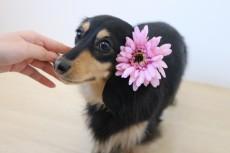 ダックスフンド 触れる練習 犬の保育園 室内トレーニング