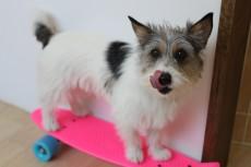 犬の保育園 ジャックラッセルテリア 犬のトレーニング 犬とスケボー 犬の体幹 犬の体幹トレーニング