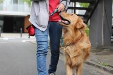 犬の保育園 ゴールデンレトリーバー マンツーマントレーニング お散歩練習 お外でトレーニング 三鷹 吉祥寺 都内