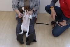 犬の保育園 キャバリアキングチャールズスパニエル 膝の上 触れる練習 室内トレーニング 三鷹 都内