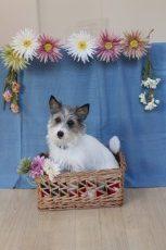 ジャックラッセルテリア 箱 おすわり トレーニング 犬の保育園 お花
