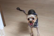 ヨークシャーテリア 犬の保育園 まて レッスン