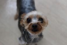 ヨークシャーテリア 犬のトレーニング 保育園 室内レッスン