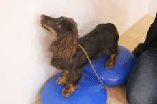 犬の保育園 バランスを鍛える 体幹トレーニング ダックスフンド