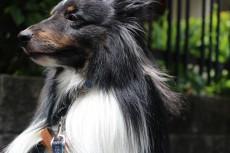 犬の保育園 シェットランドシープドッグ おすわり お外のレッスン 社会化練習