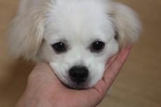 犬の保育園 ペキニーズ×ミニチュアダックスフンド あごのせ 触れる練習 社会化