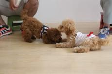 犬の保育園 お友達とレッスン トイプードル 社会化トレーニング