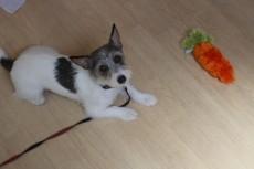 犬の幼稚園 ジャックラッセルテリア しつけ おもちゃ トレーニング 犬の幼稚園 都内