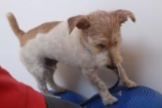 犬の保育園 ワイヤーヘアードミニチュアダックスフンドの小梅ちゃん 犬の体幹 犬のトレーニング