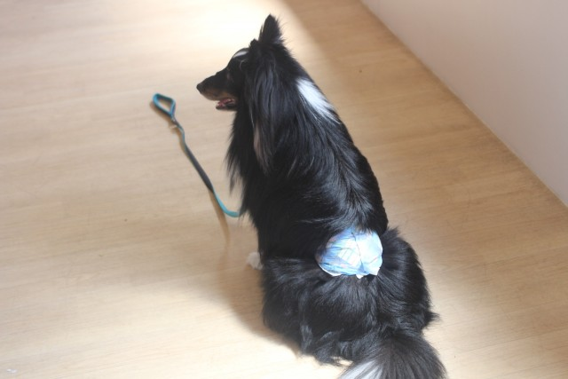 犬の保育園 シェットランドシープドッグの三郎くん 東京 個別トレーニング