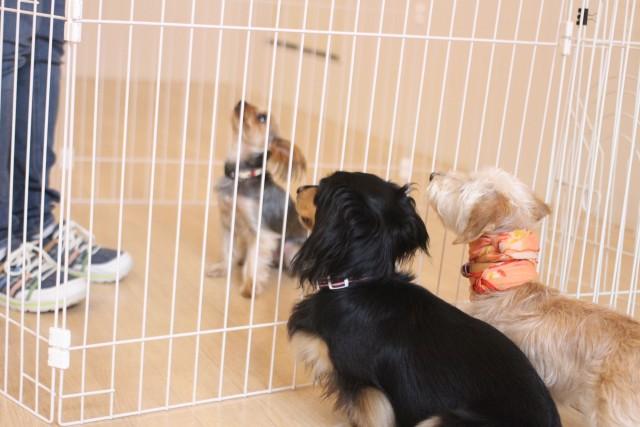 犬の幼稚園 ダックスフンド ワイヤーヘアードミニチュアダックスフンド ヨークシャテリア 犬のお友達 社会化トレーニング 吉祥寺