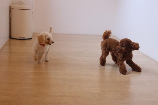 犬の保育園わんこ同士の遊び