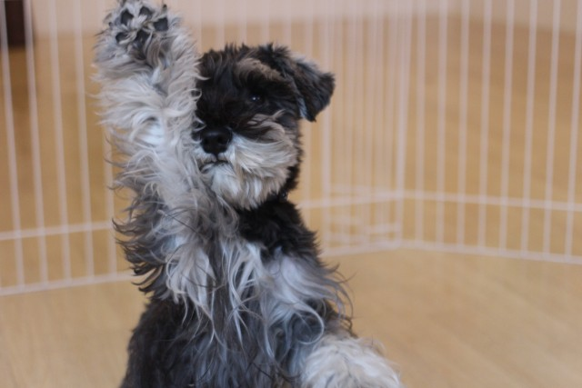 Image result for Schnauzer 犬 横たわっている