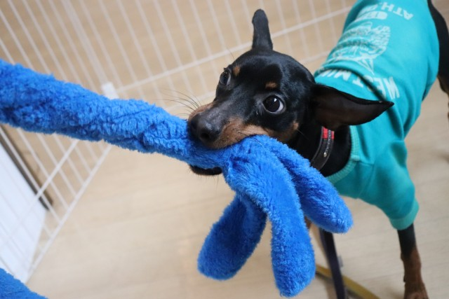 Image result for 犬 Mini Pinscher かわいらしい