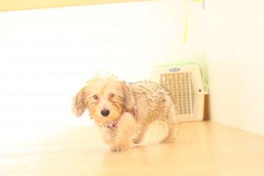 ワイヤーヘアードミニチュアダックスフンド 犬の保育園 バウビー しつけ トレーニング