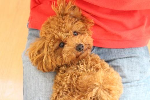 トイプードル リラックスポジション 仰向け抱っこ 犬の保育園 バウビー しつけ トレーニング