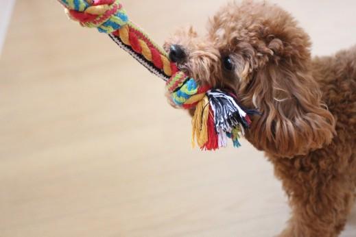 トイプードル おもちゃ遊び 引っ張りっこ 犬の保育園 バウビー しつけ トレーニング