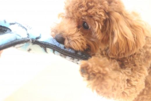 トイプードル 犬の保育園 バウビー しつけ トレーニング おもちゃ遊び